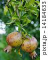 ザクロ 果実 実の写真 14184633