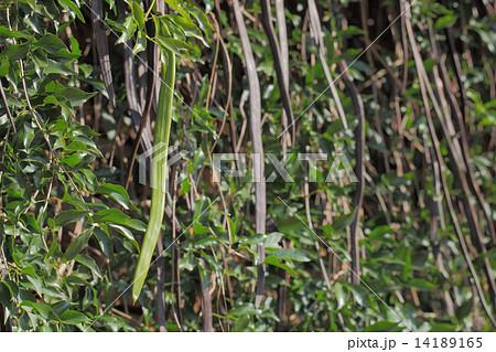 ネコノツメの実 14189165