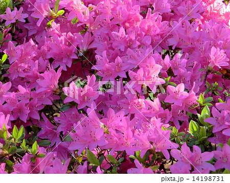 春の季語でもあるツツジ。紫色のツツジの花。 14198731