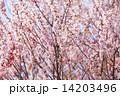 Beautiful pink sakura tree 14203496