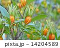 果実 クチナシの実 実の写真 14204589