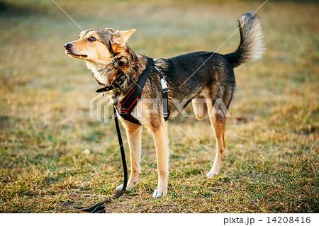 Mixed Breed Medium Size Three Legged Dog Standing At Grass