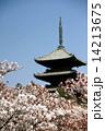 お多福桜 桜 五重塔の写真 14213675