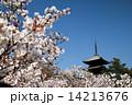 お多福桜 桜 御室桜の写真 14213676