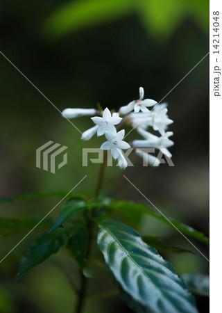 やんばるの森・サツマイモナリの花 14214048