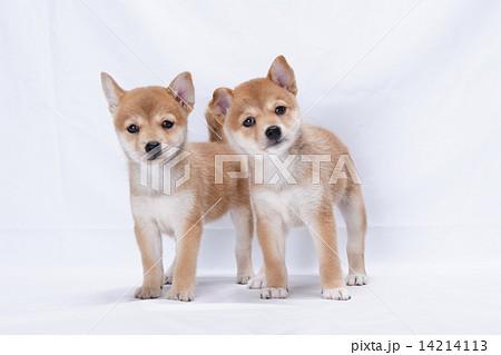 仲良しな柴犬の子犬 14214113