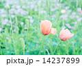 ポピーとレンゲ畑 14237899