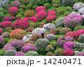 つつじ園 花 ツツジの写真 14240471