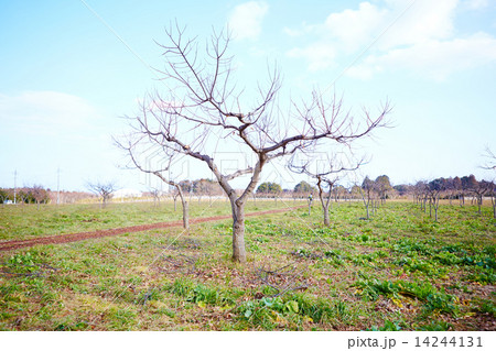 栗の木(春) 14244131