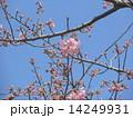 JR稲毛海岸駅前のカワヅザクラの花 14249931
