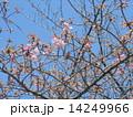 JR稲毛海岸駅前のカワヅザクラの花と沢山の蕾 14249966