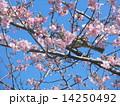 JR稲毛海岸駅前のカワヅザクラの花とヒヨドリ 14250492