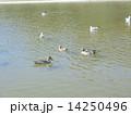 オナガガモ ユリカモメ 池の写真 14250496