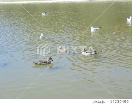 稲毛海浜公園の池で泳ぐ冬の渡り鳥オナガガモとユリカモメ 14250496