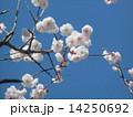 一寸遅く咲く我が家の白色のウメの花 14250692