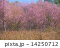 The beautiful scenery in cherry blossom forest 14250712