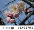 一寸遅く咲く我が家の白色のウメの花 14253763