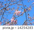 JR稲毛海岸駅前のカワヅザクラの花と沢山の蕾 14254283