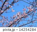 JR稲毛海岸駅前のカワヅザクラの花と沢山の蕾 14254284