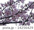 JR稲毛海岸駅前のカワヅザクラの桃色花 14256429