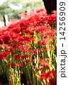 巾着田 満開 花の写真 14256909
