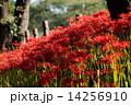 巾着田 満開 花の写真 14256910