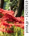 巾着田 満開 花の写真 14256919