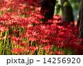 巾着田 満開 花の写真 14256920