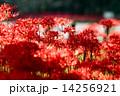 巾着田 満開 花の写真 14256921