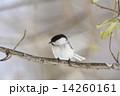 コガラ 鳥 小鳥の写真 14260161
