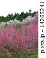 紅白梅6(タテ) 14265241