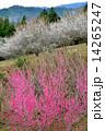 紅白梅12(タテ) 14265247