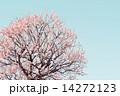開く 紅冬至 梅の木の写真 14272123