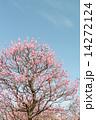 開く 紅冬至 梅の木の写真 14272124