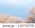 満開の桜 14274336