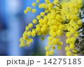 フサアカシアの黄色い花 14275185