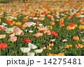 アイスランドポピー 花畑 ポピーの写真 14275481