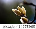 木蓮 ハクモクレン 花の写真 14275965