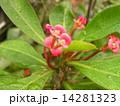キリンのように細身の体の上に花を付けるハナキリン 14281323