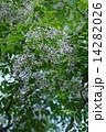 センダン オウチ アミノキの写真 14282026