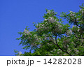 センダン オウチ アミノキの写真 14282028