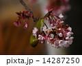 熱海桜 桜 小鳥の写真 14287250