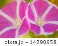 富士の桃 曜白朝顔 朝顔の写真 14290958