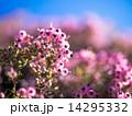 ジャノメエリカ エリカ 花の写真 14295332