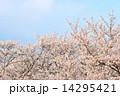 満開の桜と青空 14295421