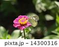 モンキチョウ 14300316