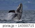 ザトウクジラ 14300715