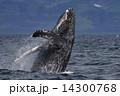 ザトウクジラ 14300768