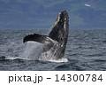 ザトウクジラ 14300784