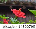 沖縄のハイビスカス 14300795